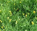Meadow vetchling 800.jpg