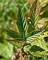 Meadowsweet (Filipendula ulmaria) - Oslo, Norway 2020-08-19 (01).jpg
