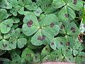 Medicago arabica leaf3 (10450249165).jpg