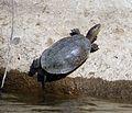 Mediterranean Pond Turtle (Mauremys leprosa) - Flickr - gailhampshire.jpg