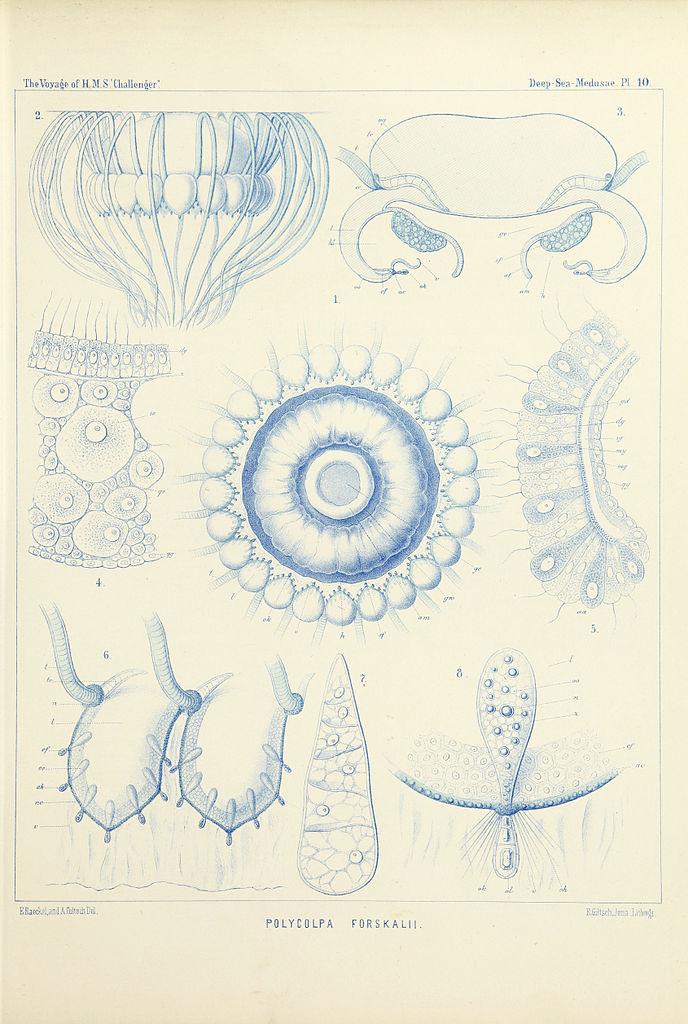 file medusae plate 10 jpg