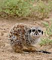 Meerkat (Suricata suricatta) end of yawn - scary look ... (33035533675).jpg