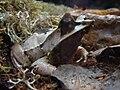 Megophrys nasuta.001 - Casa de las Ciencias.JPG