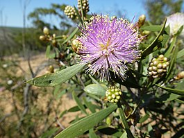 Melaleuca campanae (flowers and leaves).JPG