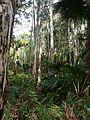 Melaleuca quinquenervia Livistona australis Wyrrabalong NP 2.jpg