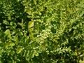 Melissa officinalis subsp. altissima 2018-07-09 4908.jpg