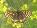 Melitaea athalia - Heath fritillary - Шашечница аталия (41108841862).jpg
