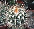 Melocactus citrispinus.jpg