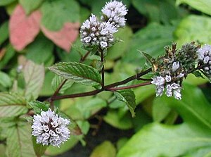 Peppermint - Peppermint flowers