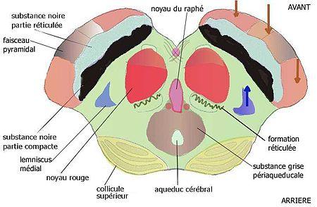 ILLUSTRATION : Partie inférieure du mésencéphale (Source : Wikipédia)