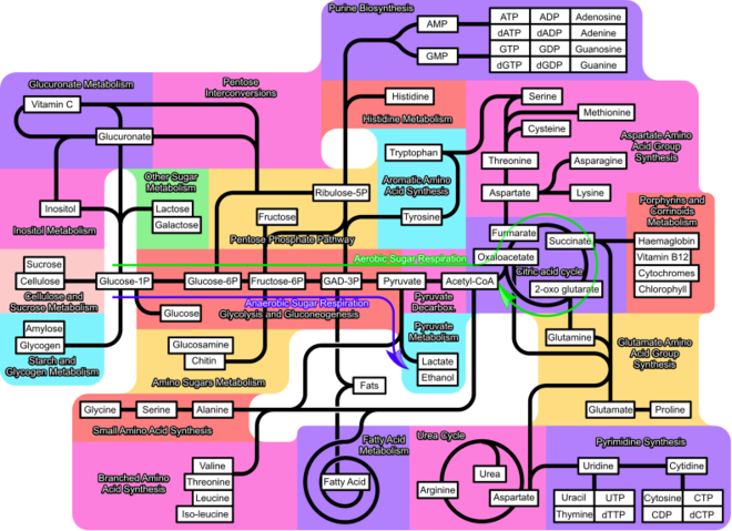 Schema metabolisme