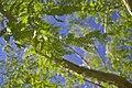 Metasequoia glyptostroboides leaves.jpg