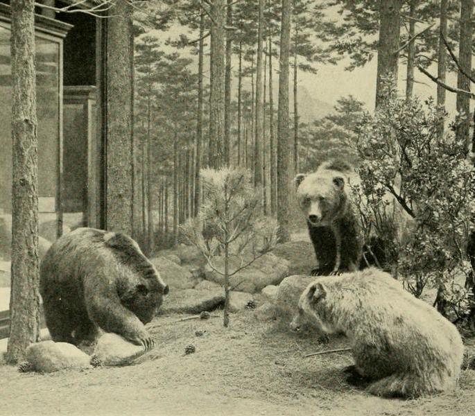 Oso grizzli mexicano extinto