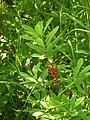 Mezereon berries (Whitefish Island) 2.JPG