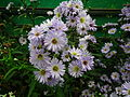 Michaelmas daisy or Aster amellus from Lalbagh Flowershow - August 2012 4718.JPG
