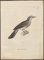 Microscelis amaurotis - 1700-1880 - Print - Iconographia Zoologica - Special Collections University of Amsterdam - UBA01 IZ16400003.tif