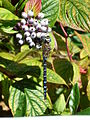 Migrant Hawker, Mudeford - geograph.org.uk - 370788.jpg