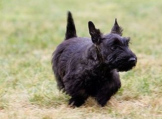 United States presidential pets - Miss Beazley, a Scottish Terrier given to Laura Bush by her husband