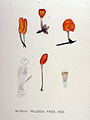 Mitrula paludosa — Flora Batava — Volume v18.jpg