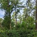 Mixed woodland in Bourne Woods (geograph 6523881).jpg