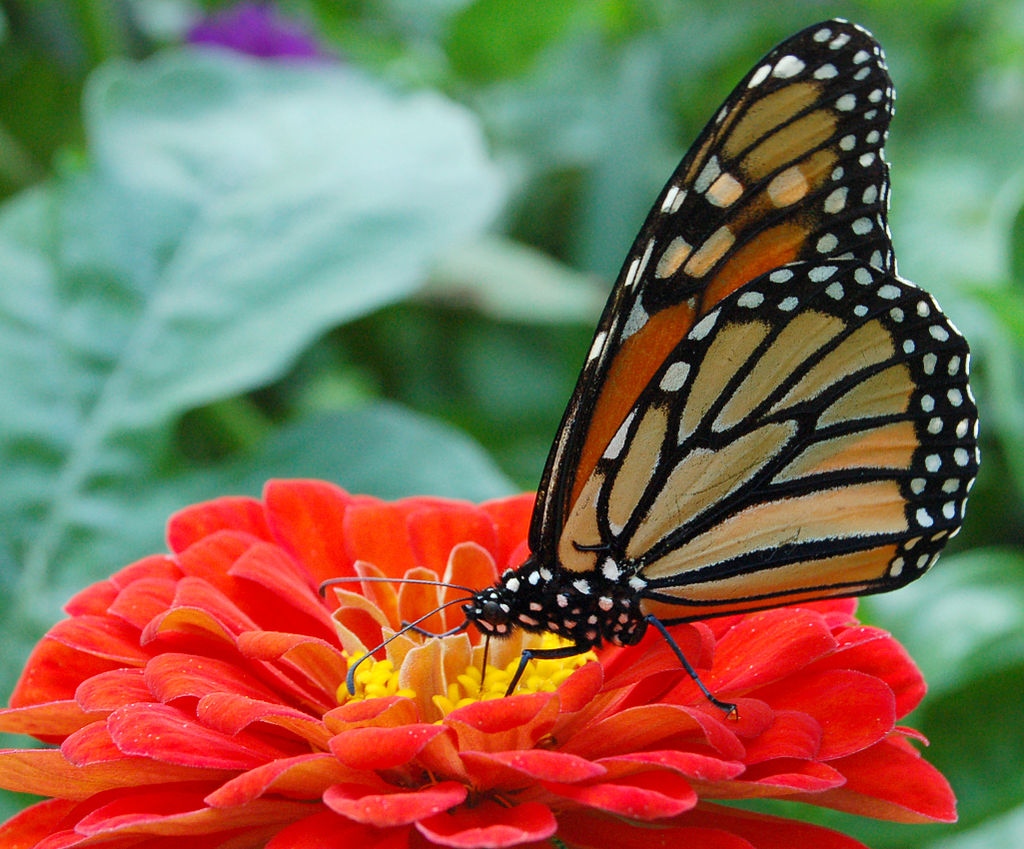 Monarch Butterfly Red Zinnia 2050px