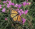 Monarch butterfly in BBG (84681).jpg