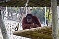 Monkey muse (8512938469).jpg