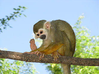 Squirrel monkey - Image: Monkey toes