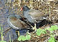 Moor-Hens in Waters' Edge Park - geograph.org.uk - 403981.jpg