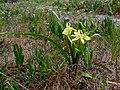Moraea papilionacea (2).jpg
