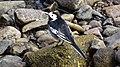Motacilla alba (Pied Wagtail), Annick Water, Stewarton, East Ayrshire.jpg