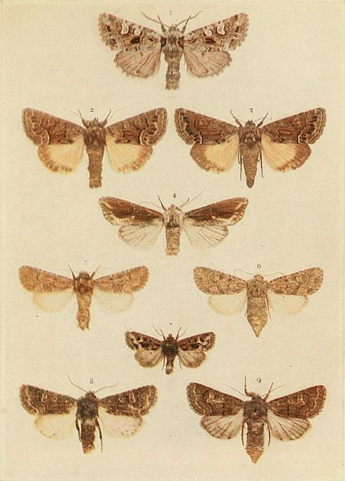 Moths of the British Isles Plate128.jpg