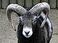 Mouflon de Corse.jpg