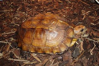 Keeled box turtle species of reptile