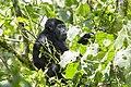Mountain gorilla (Gorilla beringei beringei) 04.jpg
