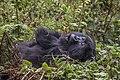 Mountain gorilla (Gorilla beringei beringei) female yawn.jpg