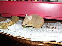 Розовая декоративная мышь