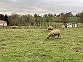Moutons Pré Route Marmont - Vonnas (FR01) - 2020-12-02 - 2.jpg