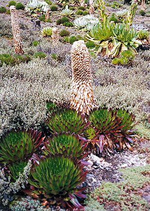Lobelia - Giant lobelias (Lobelia deckenii), Mount Kenya