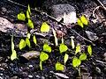 Mud-puddling Common Grass Yellows by Joseph Lazer.jpg