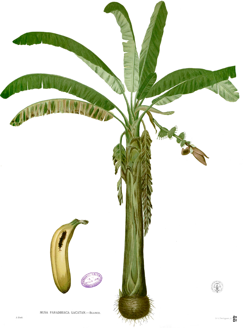Illustration of 'Lakatan', then spelled with a 'c', in Flora de Filipinas. (Source Wikimedia Commons)