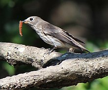 Muscicapa griseisticta eating insect.JPG