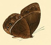 Mycalesis aramis.JPG