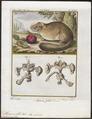 Myoxus glis - met ingewanden - 1700-1880 - Print - Iconographia Zoologica - Special Collections University of Amsterdam - UBA01 IZ20400183.tif
