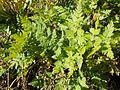 Myrrhis odorata - GBA Viote 09-16.jpg