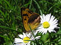 NZ Glade copper butterfly, female 02.JPG