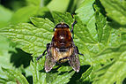 Narcissus bulb fly (Merodon equestris) grooming.jpg