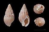 Nassarius reticulatus MHNT.jpg