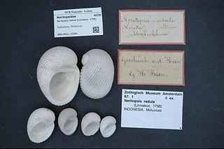 Neritopsoidea Superfamily of gastropods