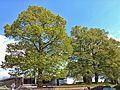 Naturdenkmal am Friedhof.jpg